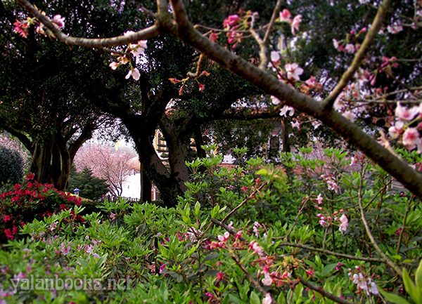 Taiwan Travel Spring  Cherry Flowers Tamsui photography Romanticism 台湾旅行 山寺樱花 花卉摄影 浪漫主义 Yalan雅岚 黑摄会